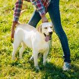 White Labrador Retriever Dog Standing On Grass Stock Photo