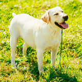 White Labrador Retriever Dog Standing On Grass Stock Photos