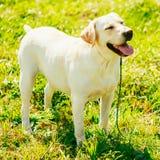 White Labrador Retriever Dog Standing On Grass Stock Photos