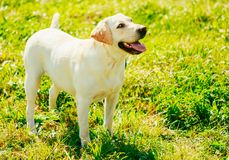 White Labrador Retriever Dog Standing On Grass Royalty Free Stock Photos