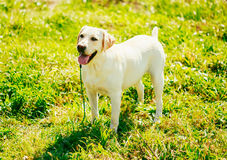 White Labrador Retriever Dog Standing On Grass Royalty Free Stock Image