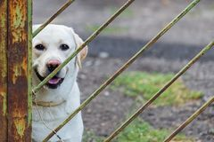 White labrador retriever dog tied by metal chain on the gate to prevent visitors to be bitten. House and apartment security guard.  royalty free stock photos