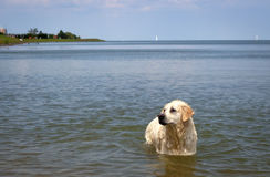 White Labrador retriever enjoing ocean Royalty Free Stock Photography