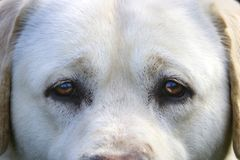 White Labrador Retriever Eyes Staring into Camera stock images
