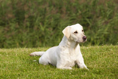 White Labrador Retriever Female stock photo