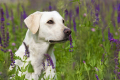 White Labrador Retriever Female stock photography