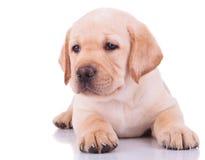White labrador retriever puppy dog Stock Image
