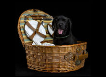 White labrador retriever puppy dog Stock Images