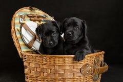 White labrador retriever puppy dog Stock Photography
