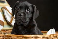 White labrador retriever puppy dog Stock Photos