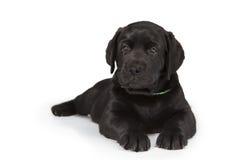 White labrador retriever puppy dog Royalty Free Stock Photo