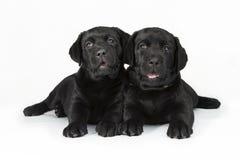 White labrador retriever puppy dog Royalty Free Stock Image