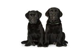 White labrador retriever puppy dog Royalty Free Stock Images