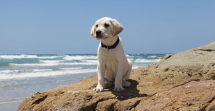 White Labrador Retriever Puppy On a Rock at the Beach Stock Images