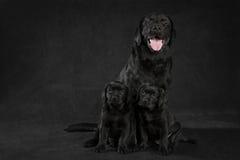 White labrador retrieverdog Royalty Free Stock Images