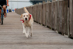 A white labrador retriever running down a boardwal. A white lab runs down a board walk in Charleston, South Carolina royalty free stock photos