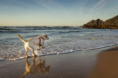 White Labrador running in the water in Amoreira Beach in Alentejo, Portugal Royalty Free Stock Photography
