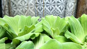 White lace curtain and Green water lettuce in the pond Stock Images