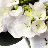 White Lacecape Hydrangea Royalty Free Stock Photo