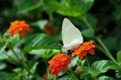 The white butterfly Royalty Free Stock Image