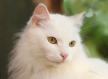 White lady-cat Royalty Free Stock Photos