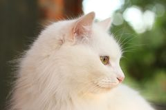 White lady-cat Royalty Free Stock Images