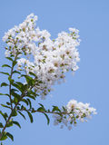 White Lagerstroemia indica flower Stock Image