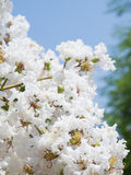 White Lagerstroemia indica flower Royalty Free Stock Images