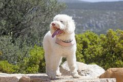 White Lagotto Romagnolo dog portrait macro background fine art in high quality prints products fifty megapixels