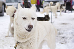 White laika posing before sled race. On the land of Sampo is the stage of World Cup race dogs such as pulka and skijoring in Karelia Stock Photos