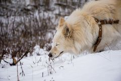 The white laika walks in sunny winter day stock images