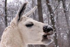White lama. It's a head of white lama Stock Photography
