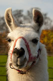 White Lama. In a field wants some food Stock Photography