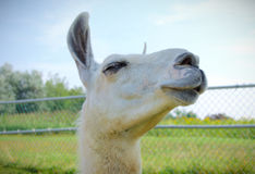 White lama alpaca portrait farm animal closeup. Livestock white alpaca lama face agriculture farm closeup Stock Image