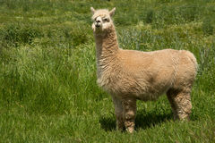 White Lama alpaca. Single white Lama alpaca standing in a sunny green field on a farm Royalty Free Stock Photography