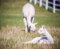 White Lama animal outdoors. Lama guanicoe, white Lama animal outdoors in summer Stock Image