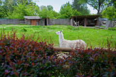 White Lama. Behind a gray fence in a zoo Stock Photography