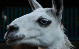 White lama with blue eyes in the zoo Royalty Free Stock Photography
