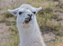 White lama. Chewing white lama in the Andes mountains, Argentina Royalty Free Stock Photos