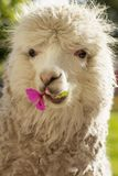 White lama chewing lila flower Stock Photos
