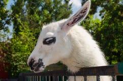 White Lama close up Royalty Free Stock Photo