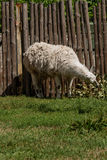 White lama eats Royalty Free Stock Photography