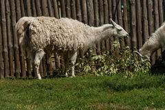 White lama eats Stock Image