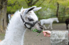 White lama fed with grass.  Royalty Free Stock Photos