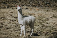 White lama full-length outdoors stock photography