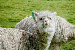 White lama royalty free stock photos