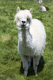 White lama grazing on the grass, farm. White lama grazing on the farm Royalty Free Stock Photography