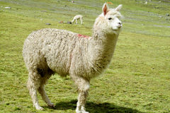 White lama on the green meadow. White lama on green grass meadow. The llama, Lama glama domesticated South American camelid animals on the green meadow in the royalty free stock photos