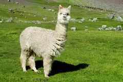 White lama on green meadow grass. The llama, Lama glama domesticated South American camelid animals on the green meadow in the Andes mountains stock images