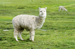 White lama on green meadow Stock Image